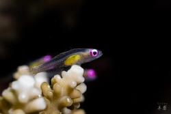 Pink eye goby - Mayotte by Takma Lherminier