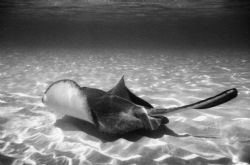 Sting Ray City 3, Nikonus-V by Chris Lawford
