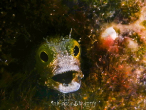 Angry Blenny! by Jan Morton