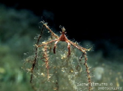 Spider crab perched on algae at night by Laura Dinraths