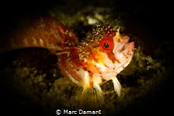 Mosshead Warbonnet! With such a smile this tiny fish was ... by Marc Damant