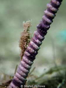 Half Way up the Stairs. Sea Pen Shrimp - Latreutes sp. Ma... by Stefan Follows