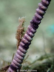 Half Way up the Stairs. Sea Pen Shrimp - Latreutes sp. Ma... by Stefan Follows