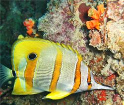 A Beaked Coralfish (Chelmon Rostratus) at