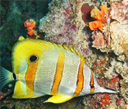 A Beaked Coralfish (Chelmon Rostratus) at koh Doc Mai,Th... by Kyriakos Filindris
