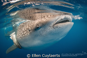 Whale shark & Remora Isla Mujeres  by Ellen Cuylaerts