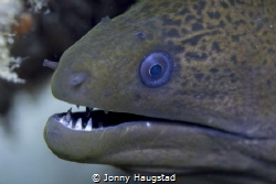 Moray, Olympus 60 mm macro lens, PL6 by Jonny Haugstad