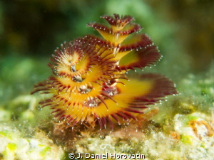 Interesting color of this christmas treeworm by J. Daniel Horovatin