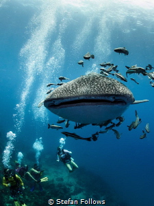 Don't look back ... ! Whale Shark - Rhincodon typus. Sail... by Stefan Follows