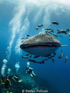 Don't look back ... ! Whale Shark - Rhincodon typus. Sail... by Stefan Follows