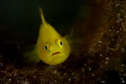 yellow goby by Taco Cheung