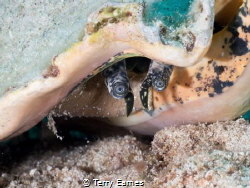 the conch by Terry Eames