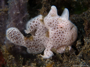 Juvenile Painted Frogfish, Manado by Doug Anderson