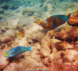 Red fish blue fish by Alison Ranheim