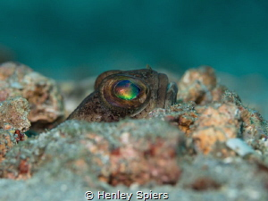 Dusky Jawfish peeks out of his burrow by Henley Spiers