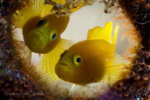 Yellow Goby's backlit bottle home. Canon 5Diii in Aquati... by Wayne Jones