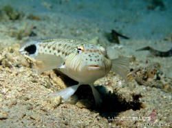 Sand-perch portrait by Laura Dinraths