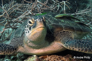 """Green Turtle with escort"" by Andre Philip"