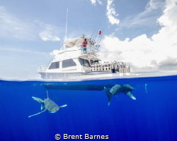 Oceanic White Tips buzzing the dive boat at Cat Island! by Brent Barnes