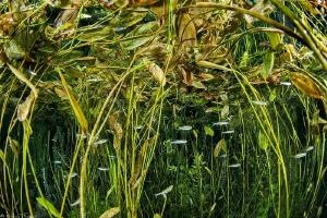 common minnow, Phoxinus phoxinus_Bueges spring_France by Mathieu Foulquié