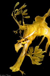 Leafy seadragon (Phycodurus eques, Kingscote jetty, Kanga... by Mathieu Foulquié