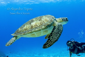 Green Turtle and diver, Cozumel Mexico by Alejandro Topete