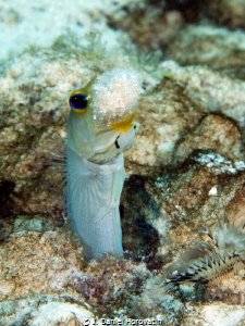 Another yellowhead jawfish cleaning house. by J. Daniel Horovatin