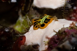 Photobombed! Tiger flatworm and a little fish - Mayotte by Takma Lherminier