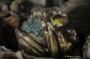 Jawfish carrying eggs in the mouth by Raffaele Livornese
