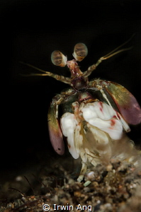 S M A S H E R  Pink-eared Mantis shrimp (Gonodactylidae)... by Irwin Ang