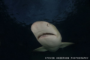 Never a dull moment with smiling Lemon Sharks that patrol... by Steven Anderson