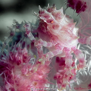 Candy Crab that was hiding in the soft coral Puerto Gale... by Robin Bateman