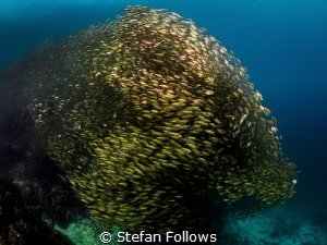 All that Glitters ... Oxeye Scad - Selar boops. Sail Rock... by Stefan Follows