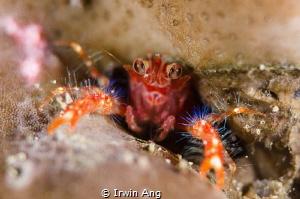 R O B O K O N Olivar's Squat Lobster (Munida olivarae) ... by Irwin Ang