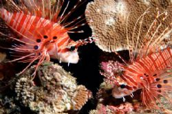 Now that's a nice pair. Not many Lionfish in Hawaii...lot... by Glenn Poulain