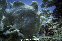 Frogfish, Bohol in Philippines. by Jonny Haugstad