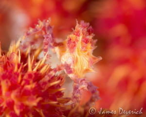 All about red / Soft coral crab in Anilao, I can see thes... by James Deverich
