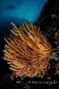 crinoid on yellow seafan by Marco Gargiulo