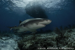 Lemon Sharks patrol Tiger Beach constantly looking for ni... by Steven Anderson