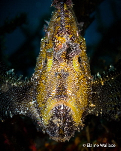 Mr Grumpy!  A leaf scorpion fish looking down on me. by Elaine Wallace
