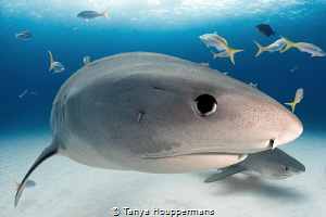 Window to the Soul A large female tiger shark makes eye ... by Tanya Houppermans