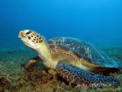 Female green turtle (Chelonia mydas) feeding on seagrass by Laura Dinraths