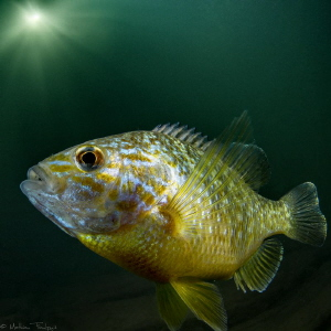 pumpkinseed sunfish (Hérault river, France) by Mathieu Foulquié