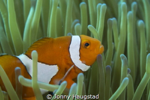 Clownfish in his anemone by Jonny Haugstad
