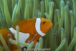 Clownfish in his anemone by Jonny Haugstad