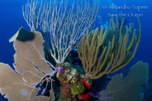 Diver behind the reef, San Pedro Belize by Alejandro Topete