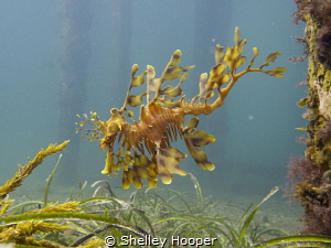 Leafy Sea Dragon at Tumby Bay Jetty, South Australia. Tak... by Shelley Hooper