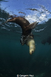 Cape fur Seal, Hout Bay, South Africa by Cangemi Paul