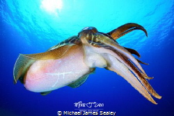 Cuttlefish showing a nice tentacle display. by Michael James Sealey