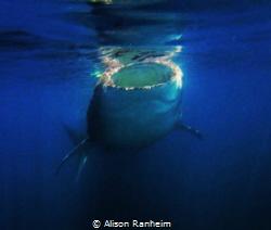 Whale Shark, Isla Holbox by Alison Ranheim